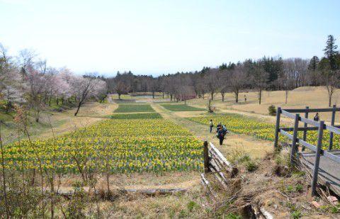 菜の花と桜の風景