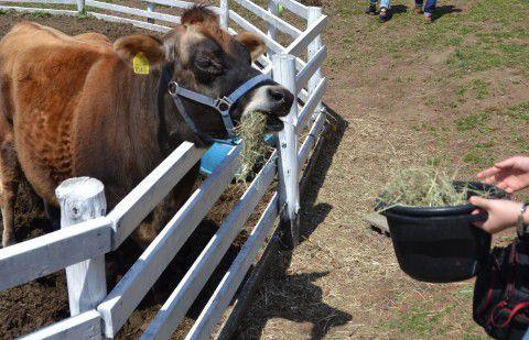 牛へのエサやり風景