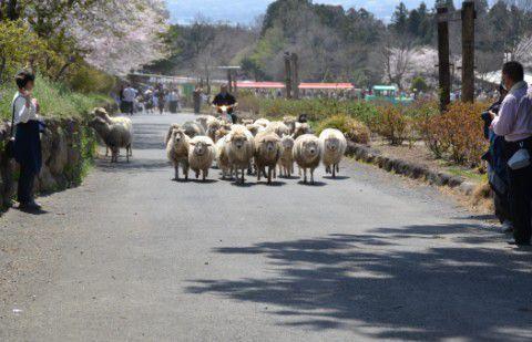 羊の大行進