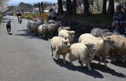 犬に追い込まれてる羊たち