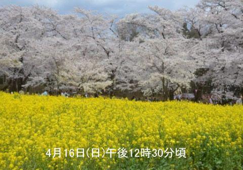 満開の桜がバックにある菜の花