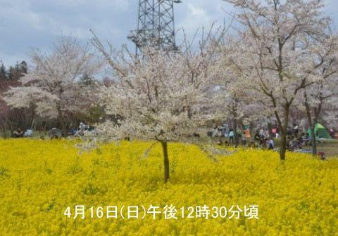 菜の花の中にある桜の木