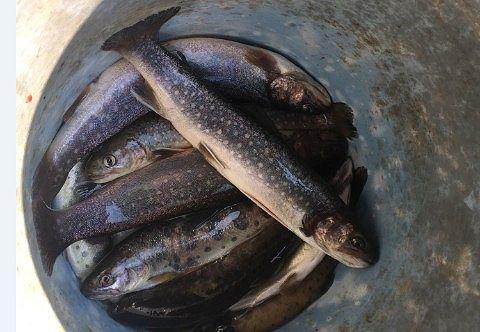 釣れた岩魚や山女
