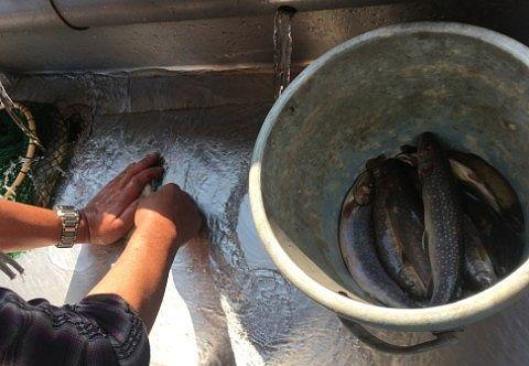 魚の内臓とり