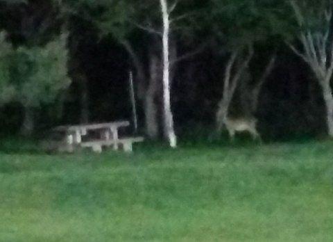 夜中庭にいた野生のシカ