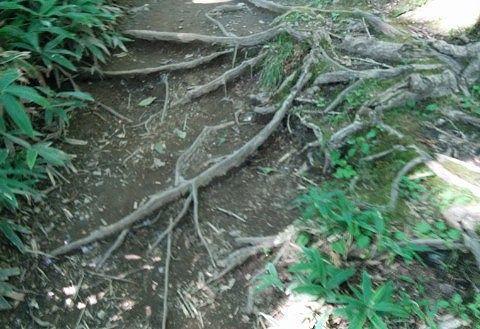 根っこが張り出してて歩きにくかった道