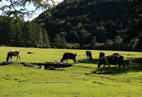 光徳牧場の牛たち