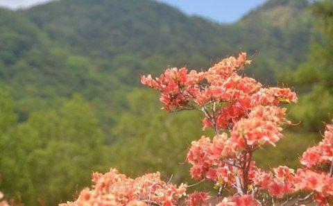 ツツジが咲く赤城山
