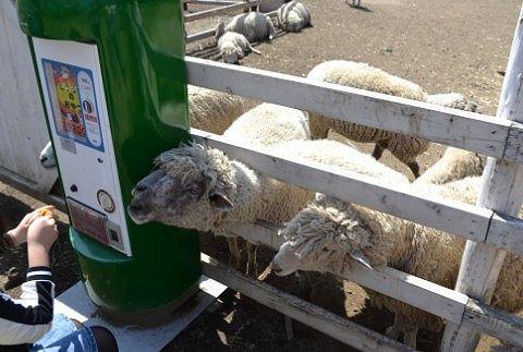羊にエサやり