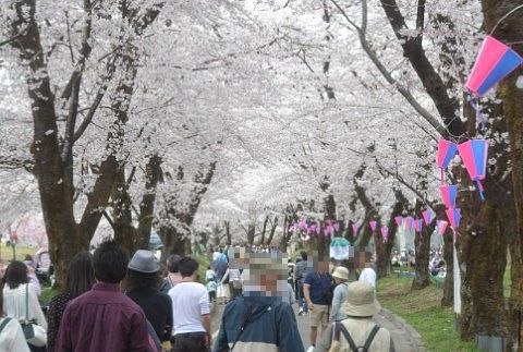 赤城千本桜の様子