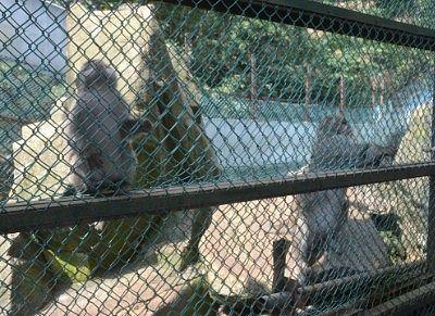 エサ頂戴アピールをする猿たち