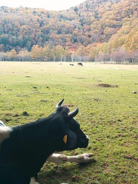 秋の光徳牧場の牛の様子