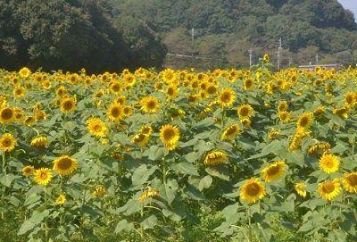 ひまわりの花畑の様子