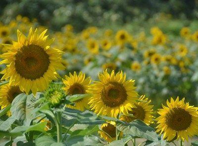 ひまわりの花畑