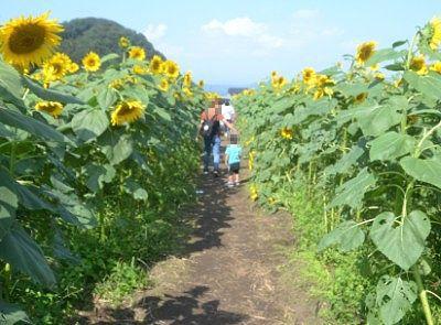 ひまわりの花畑の中の小道