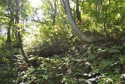Jの形になったブナの木